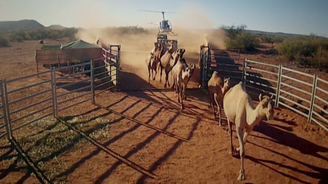 Camels being rounded up