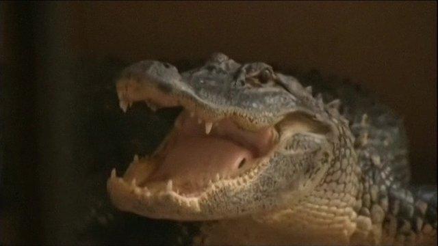 Alligator on porch