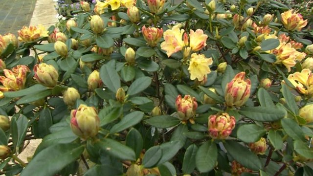 Rhododendrons in bud at Millais Nurseries in Surrey