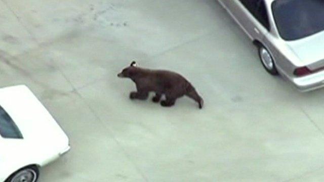 The black bear roaming the LA suburb