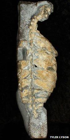 Eunotosaurus africanus Skeleton