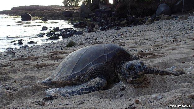 The sea turtle, Chelonia mydas, on the northern shore of Oahu, Hawaii