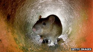 Rat in a pipe in a London sewer