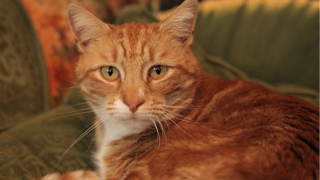 Ginger the cat