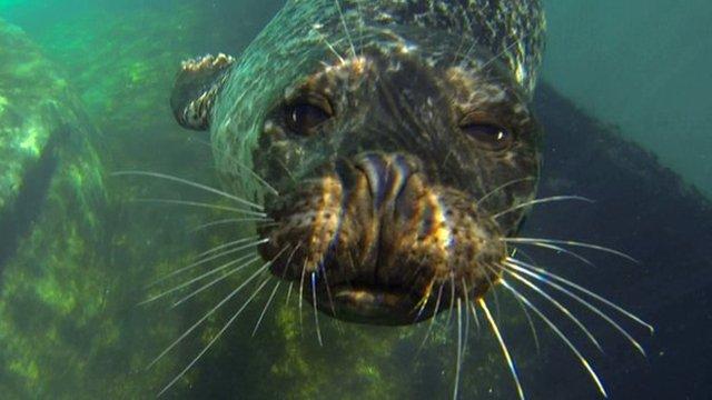 Common seal swimming underwater (c) BBC