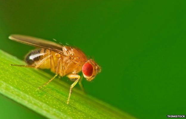 Fruit fly