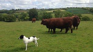Cattle on farm near Tiverton, Devon