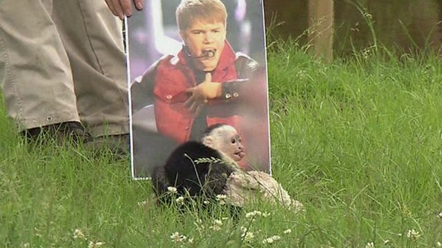 Mally the monkey in front of a picture of Justin Bieber