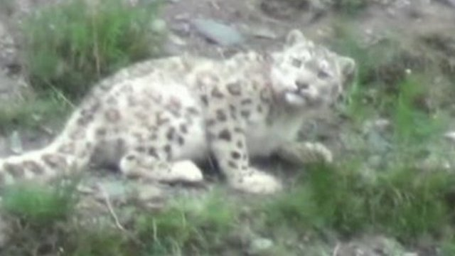 Snow Leopard in Yushu hills, China