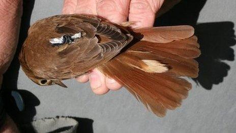 Nightingales' tags reveal habitat change on migratory routes