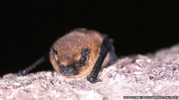 Fewer bat sightings spark breeding fears