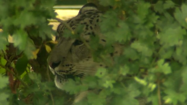 Snow leopard at Wildlife Heritage Foundation in Kent