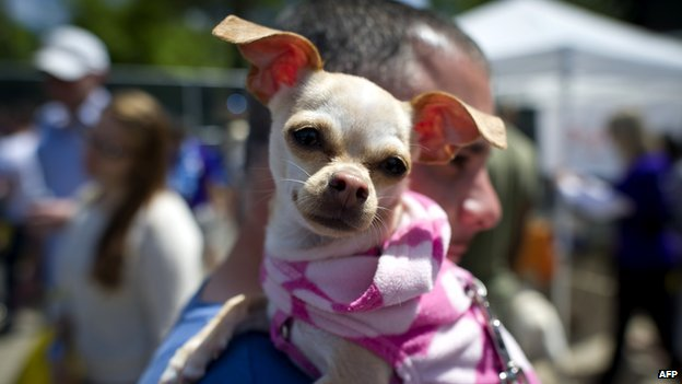 Chihuahua with owner
