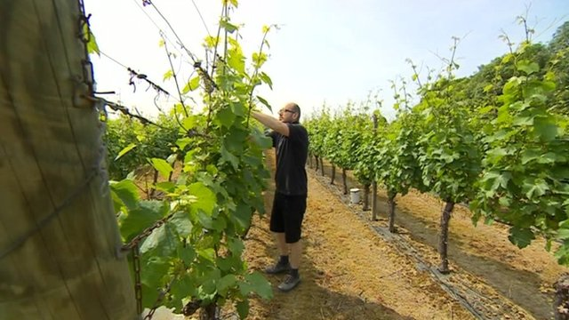 Man tending vine
