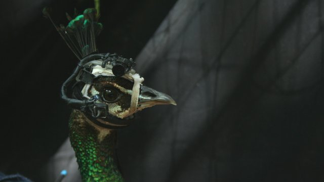 Peahen with eye-tracking camera