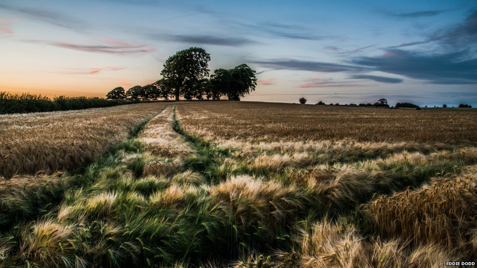 A ripening field at sunset