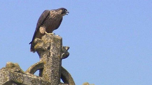 Peregrine falcon on church