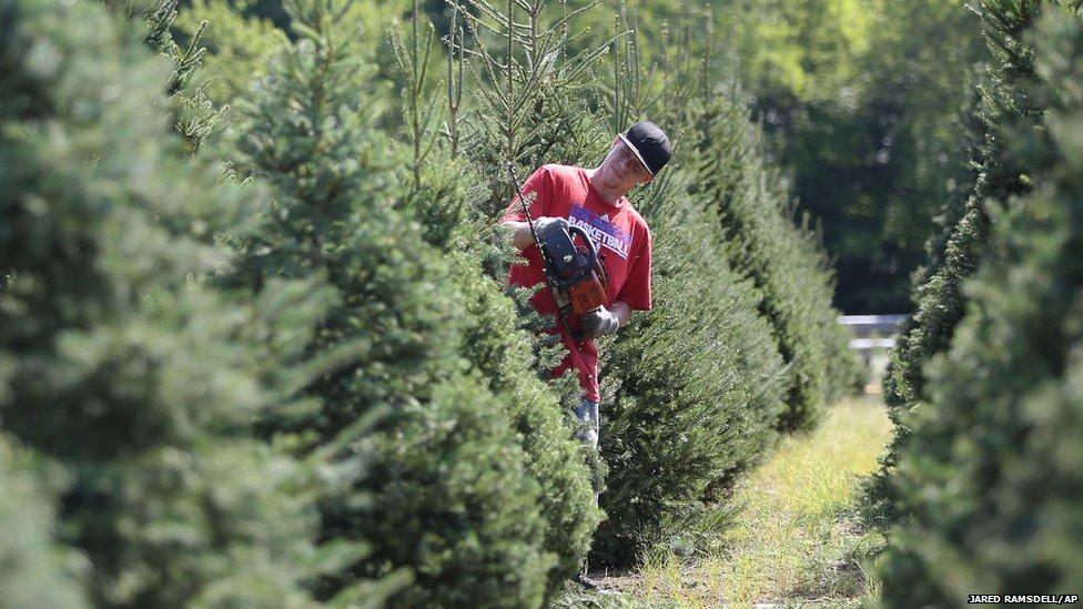 Man pruning Christmas trees