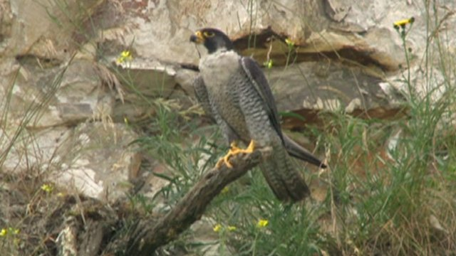 Peregrine falcon at Bluewater