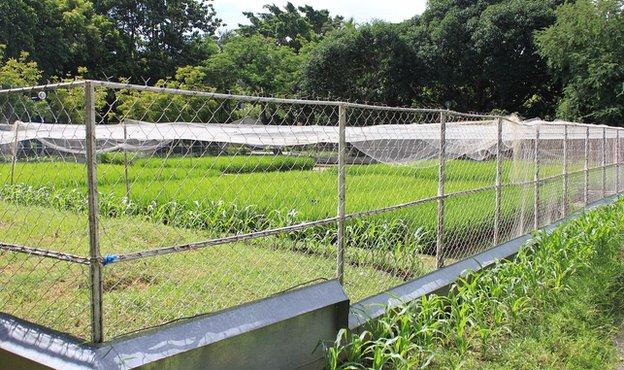 Golden rice enclosure