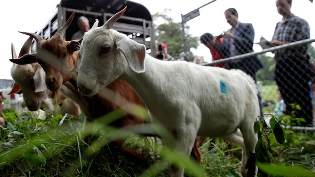 """Eco-Goats"" begin the process of clearing land at the historic Congressional Cemetery August 7, 2013 in Washington, DC"