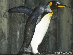 Missy the King penguin