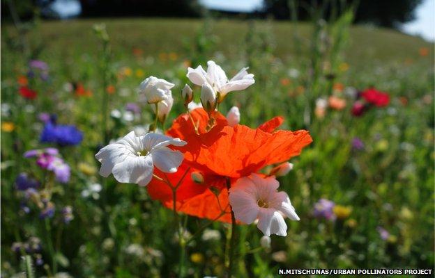 Urban wildflower meadow (Image courtesy of Nadine Mitschunas/University of Reading/Urban Pollinators Project)