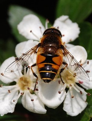 Hoverfly on a hawthorn flower (Image: BBC)