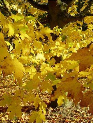 Acer autumn leaves (Image: BBC)