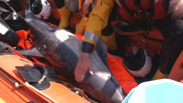 The rescued dolphin