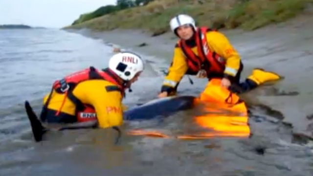 Two RNLI volunteers move the stranded dolphin