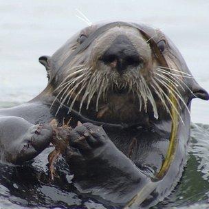 sea otter ecology