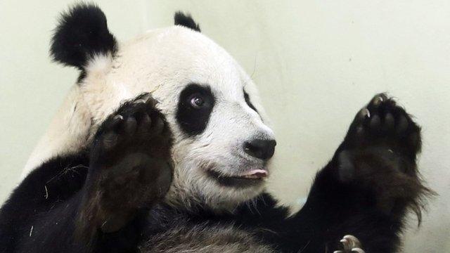 Female giant panda Tian Tian in her enclosure at Edinburgh Zoo