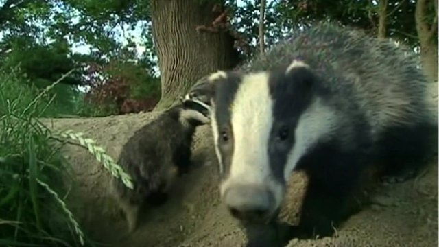Badgers in the wild