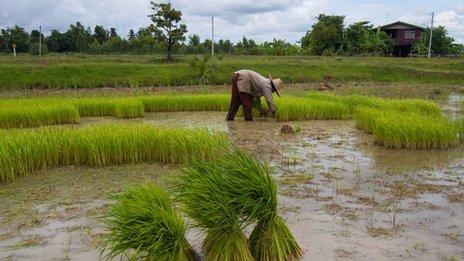 Thai rice famer