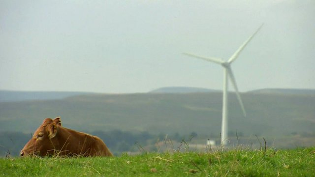 A cow lying in a field with a wind turbine