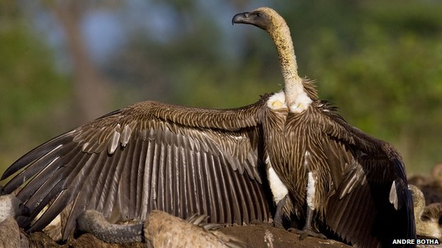 African white-backed vulture, photograph by Andre Botha