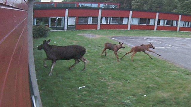 Moose in Norwegian school