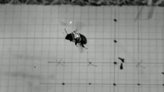 Bumblebee (c) Sridhar Ravi/ Harvard University