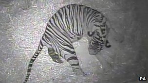 New tiger born at London Zoo