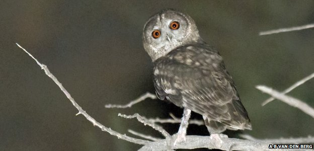 Owl recorded in Oman could be a new species
