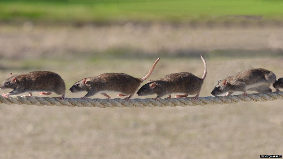 Rats on rope