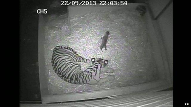 CCTV showing the birth of the Sumatran tiger cub