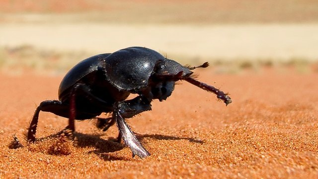 Dung beetle (c) Jochen Smolka
