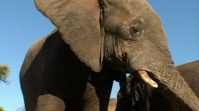 An elephant (undated photo)