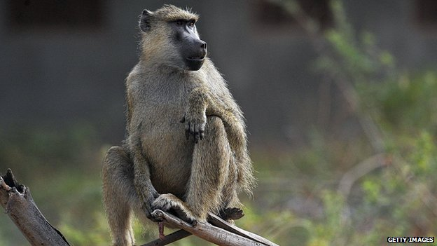 A young baboon in Kenya