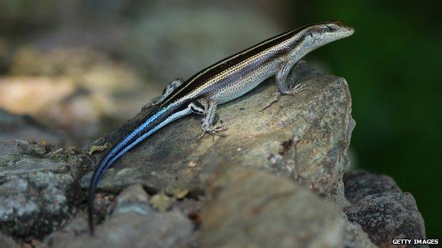 A lizard in Malelane, South Africa
