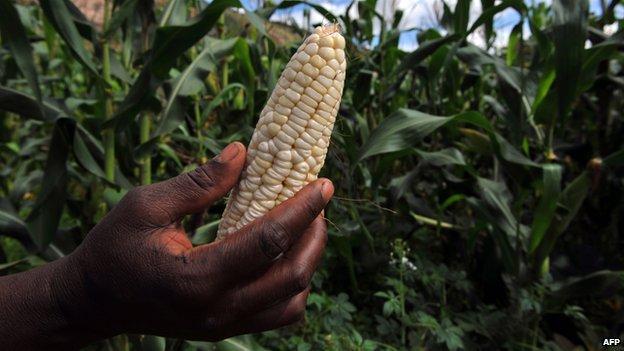 A woman holds a corn cob in a farm in Chinhamora, Zimbabwe