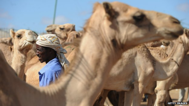 A farmer trying to sell his camels in Hargeisa, Somaliland