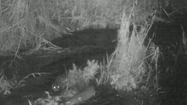 Otters captured in the River Gowy